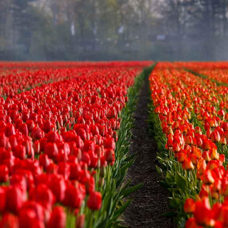 Dagtocht tulpenfestival in de Noordoostpolder per luxe touringcar met ter Beek reizen